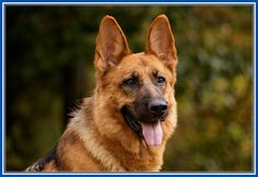 Super Pictures Of German Shepherd Dogs And Puppies More Design http://joesquest.com/dog-breeds/pictures-of-german-shepherd-dogs-and-puppies/