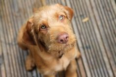 Wire haired vizsla. I love it.