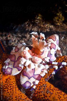Harlequin Shrimps feeding on seastar on the coral reef  underwater in Thailand by soren egeberg