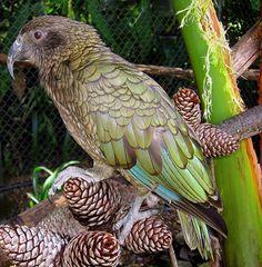 Kea - NZ mountain Parrot by Mary Faith., via Flickr