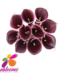 Mini Callas Dark Purple Strauss Pack 80 stems - EbloomsDirect 0 star rating Write a review QUANTITY 1 Regular price $130.00 You will receive Strauss Dark Purple Mini Callas for your special event. This PurpleBerry Mini Calla Lily Flower has a trumpet-shaped bloom displaying deep berry tones on a purple base.  Features:  ✔ 10 Stems Minicallas 20 inches/50cm ✔ Box contains: 8 Bunches 10 stems #Minicallas #Dark #Purple #Costco #Samsclub