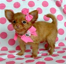 Mini Teacup Chihuahua.chikita get dressed for the pinterest show