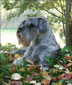 Need Help With Dog-related Issues? This Article Is For You – Info About The Dog Schnauzers, Mini Schnauzer Puppies, Standard Schnauzer, Giant Schnauzer, Miniature Schnauzer, Baby Puppies, Dog Best Friend, Bestest Friend, Schnauzer Grooming