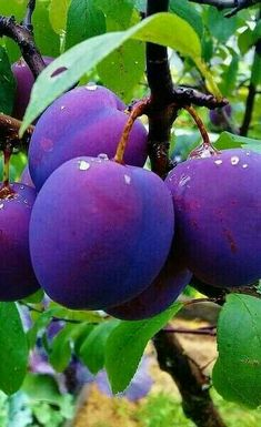 Sample Picture of Purple Fruits Vegetables - - Yahoo Image Search Results Fruit Plants, Fruit Garden, Fruit Trees, Fruit And Veg, Fruits And Vegetables, Fresh Fruit, Colorful Fruit, Tropical Fruits, Purple Fruit