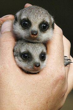 Hand-Held Meerkats.