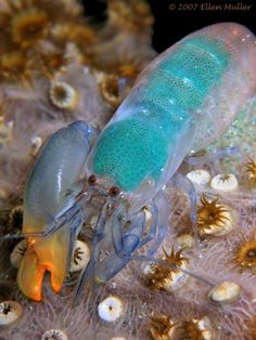 "The pistol shrimp competes with much larger animals like the Sperm Whale and Beluga Whale for the title of 'loudest animal in the sea'. It is distinctive for its disproportionately large claw, (larger than half the shrimp's body) which does not have pincers at the end. A joint allows the ""hammer"" part to move backward into a cocking position like a gun. When released, it snaps into the other part of the claw, creating a cavitation bubble capable of stunning fish and breaking"