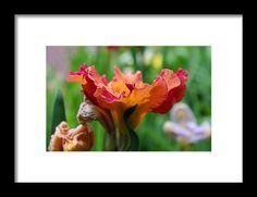 iris, orange, macro, bokeh, flower, nature, michiale schneider photography