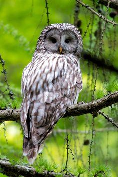 Ural Owl (Strix uralensis). Photo by Tom Ruman.