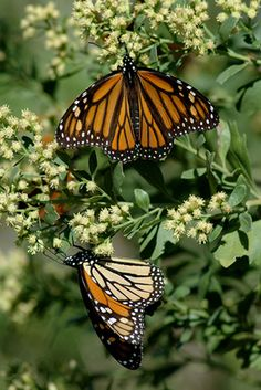 Did you notice how few #monarchs passed through this fall? Yesterday, the New York Times posted an editorial about the plight of monarch #conservation. The problem is as complicated and multifaceted as their incredible life cycle. But issues on both the Mexican wintering grounds and the North American breeding grounds are at fault. What can the average citizen do up here in the north? Try planting milkweed in your yard!! #butterfly #migration