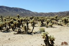 Cholla Cactus Garden || Joshua Tree National Park || Dirt In My Shoes