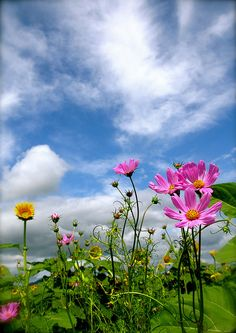 OCTOBER birth month flower: Cosmos