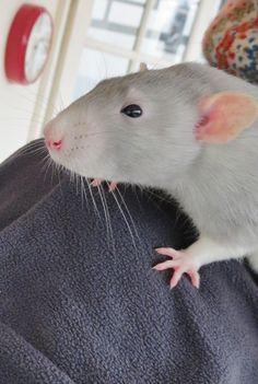 Powder blue hooded rat - Ludo and Bertie dumbo rat boys