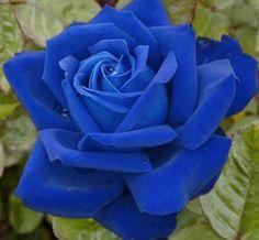 192 Mejores Imágenes De Rosas Azules Blue Roses Blue Flowers Y