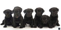 Labrador Retreiver negro