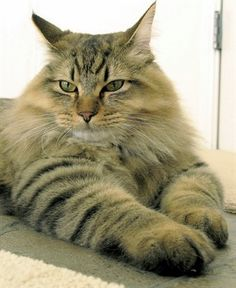 American Bobtail    Origin: United States  Colors: Any  Size: Medium to large  Weight (males): 12-16 lbs (5-7 kg)  Coat Type(s): Shorthair and longhair  Grooming: Weekly (shorthair); twice a week (longhair)  Talkativeness: Average  Activity Level: High  Attention Requirement: Average  Overall: Moderately obedient    Kind, playful, devoted and extremely intelligent cat.