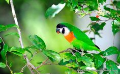 Orange-breasted Fig Parrot(Cyclopsitta gulielmitertii),found in West Papua, Indonesia and Papua New Guinea.- by Rich Lindie