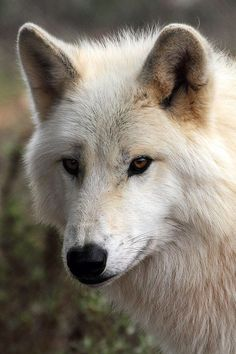 alaskan tundra wolf | animal + wildlife photography #wolves