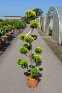 cupressocyparis leylandii castlewellan gold spirale Topiary Garden, Topiary Trees, Bonsai Garden, Garden Trees, Lawn And Garden, Garden Art, Japanese Rock Garden, Spiral Tree, Home Garden Design
