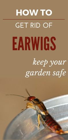 How To Get Rid Of Earwigs - Keep Your Garden Safe Insects, Mattress Cleaning,