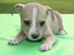 Biscuit is an adoptable Feist Dog in Boston, MA. I'mBiscuit, a 7 week old fiest/terrier mix.  I want him!!