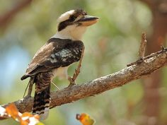 Laughing Kookaburra (Dacelo novaeguineae) perched