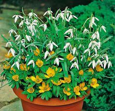 Cibuľnaté trvalky   Kvety a Záhrada