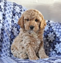 Lancaster Puppies has Toy Poodles for sale now! View our adorable puppies today and find your next furry friend! Mini Poodle Puppy, Poodle Puppies For Sale, Poodle Mix, Toy Puppies, Cute Puppies, Toy Poodles For Sale, Mini Poodles, Phantom Poodle, Lancaster Puppies