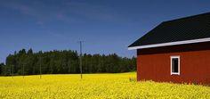 Flower Fields,Finland
