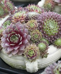 Hens & Chicks Sempervivum - Set of Six~cute for a pot