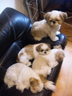 Smart Shih Tzu exercise needs # … – Dog Breeds Ideas Shih Tzu Hund, Shih Tzu Puppy, Shih Tzus, Cute Baby Animals, Animals And Pets, Funny Animals, Funny Cats, Cute Puppies, Cute Dogs