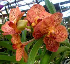 cultivo-de-la-orquidea-vanda-06