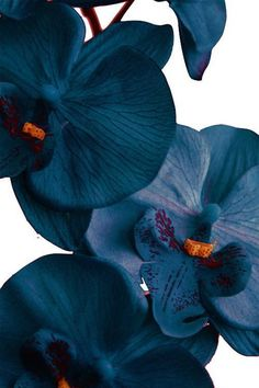 [Night Garden Custom Pillows - Party Inspiration] Deep blue orchids are so beautiful. Use them as your centerpiece.