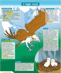 Fiche exposés : L'aigle royal