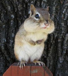 Where do squirrels sleep? It is commonly known that these animals are very active during the day and get their rest during the night. Hamsters, Rodents, Animals And Pets, Funny Animals, Cute Squirrel, Squirrels, Little Critter, Cute Little Animals, Chipmunks