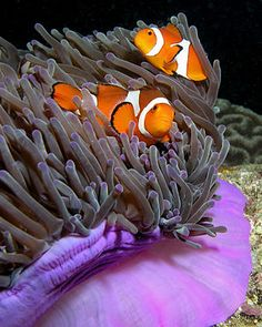 Clownfish and their home...anemone :)