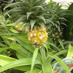Mini houseplant pineapples
