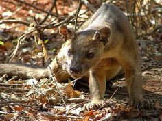 The fossa resembles a cat but is a member of the mongoose family.  A native of Madagascar, the endangered fossa enjoys a diet of lemurs and other critters.
