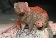 dwarf mongoose - Google Search