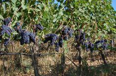 sangiovese grapes, Chianti Classico