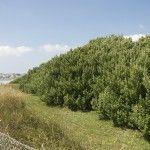 Olearia traversii, Tree daisy. Hardy, evergreen, fast-growing windbreak hedging. Hedging Plants, Seaside Garden, Sea Side, Fast Growing, Hedges, Yard Ideas, Evergreen, Planting, Coastal