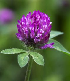 The red clover represents rural Vermont's farms and fields. The flower's not only a snack for livestock but can also be an ingredient in tea. via Vermont Historical Society
