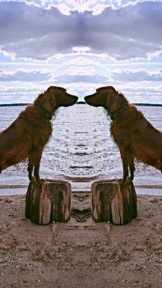 Irish Setter, Walk Run, Red Dog, Rainbow Bridge, Duffy, Amazing Grace, I Love Dogs, Camel, St Bernards