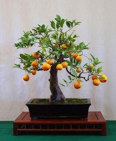 Calamondin Orange Bonsai