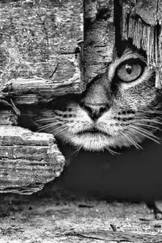 Photography black and white animals beautiful cats 39 ideas for 2019 Animals And Pets, Funny Animals, Cute Animals, Funniest Animals, Animals Planet, Safari Animals, Cute Kittens, Cats And Kittens, Kitty Cats