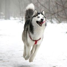 A Husky's nature depicted in 16 photographs