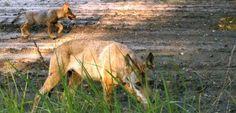 Erwischt: Wolfsjungen tummeln sich auf einem Truppenübungsplatz in Munster