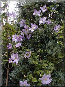 clematis blue angel profile of plants growing in our. Black Bedroom Furniture Sets. Home Design Ideas