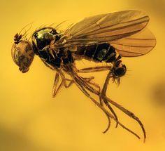 Fly in 40 million year old Baltic amber, Scott Ginn