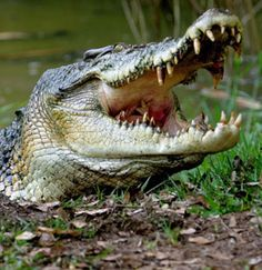 croc dangerous - Google Search