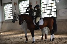 Andalusian (PRE) horses in the Military Stud. Img: YEGUADA MILITAR: PRESENTACIÓN SEMENTALES ÁVILA 2013 IV